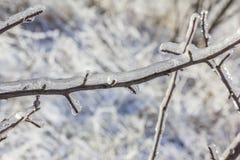 Trädfilial som överväldigas i is Arkivbild