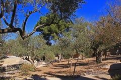 Trädgård av Gethsemane i Israel Arkivbilder