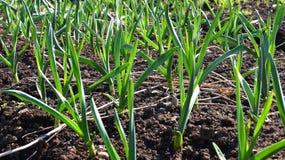 Trädgård för vitlökväxtgrönsak Royaltyfria Bilder
