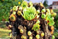 Trädgårds- kaktus Arkivfoton