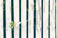 Trädgårds- Lily Over White Wooden Fence bakgrund Arkivfoton