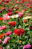 trädgårds- zinnia Fotografering för Bildbyråer