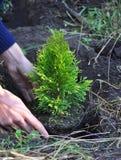 Trädgårdsmästaren Hands Planting Cypress, Thuja med rotar (thujaen Occidentalis guld- Brabant) Royaltyfri Foto