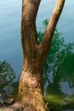 Trädstam över sjövattnet Arkivfoto