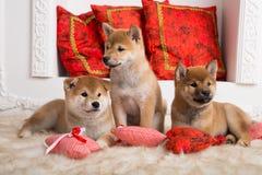 Tre älskvärda shibainuvalpar ligger tillsammans på golvet royaltyfri bild