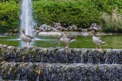 Tre änder som står i springbrunnen Royaltyfria Bilder