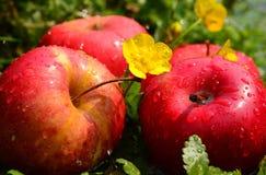 Tre äpplen nära en vår Royaltyfria Foton