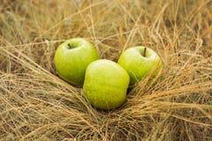 Tre äpplen på det gula gräset Fotografering för Bildbyråer