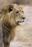Tre år gammalt lejon Fotografering för Bildbyråer