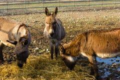 Tre åsnor i en lantgård royaltyfria foton