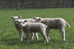 Tre agnelli Immagini Stock Libere da Diritti