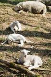 Tre agnelli che si trovano sull'erba sulla bio- azienda agricola fotografie stock libere da diritti