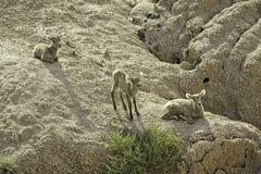 Tre agnelli delle pecore Bighorn Fotografia Stock Libera da Diritti