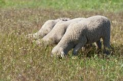 Tre agnelli divertenti Immagine Stock Libera da Diritti