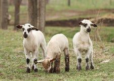 Tre agnelli macchiati Fotografie Stock