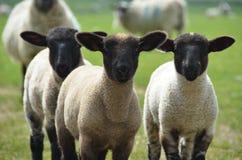 Tre agnelli nel campo immagine stock