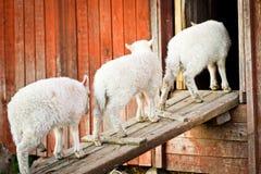 Tre agnelli in una riga Fotografia Stock Libera da Diritti