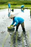 Tre agricoltori del terrazzo del riso delle donne che lavorano nel terrazzo del riso Fotografie Stock