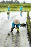 Tre agricoltori del terrazzo del riso delle donne che lavorano nel terrazzo del riso Fotografie Stock Libere da Diritti