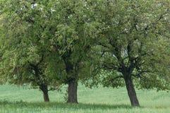Tre alberi che crescono nel campo verde Immagine Stock