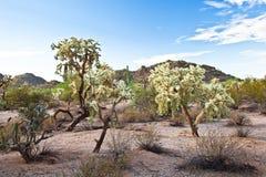 Tre alberi del cactus Fotografia Stock Libera da Diritti