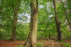 Tre alberi di ontano Fotografia Stock