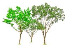Tre alberi isolati, gruppo di vasto mogano della foglia, conosciuto come mogano falso, l'Honduras, grande foglia, una pianta semp immagine stock