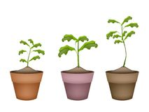 Tre alberi verdi in vasi da fiori di terracotta Fotografia Stock Libera da Diritti