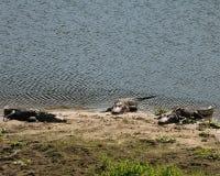 Tre alligatori dalla riva Fotografie Stock Libere da Diritti