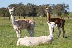 Tre alpacas Fotografie Stock Libere da Diritti