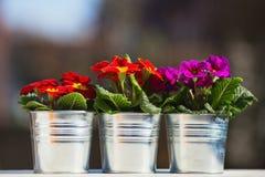 Tre blommakrukar med primroses Royaltyfria Foton