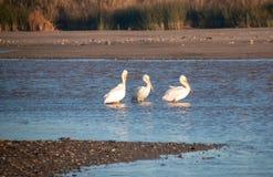 Tre amerikanska vita pelikan i Santaet Clara River på den McGrath delstatsparken på Stillahavskusten på Ventura California USA royaltyfri fotografi