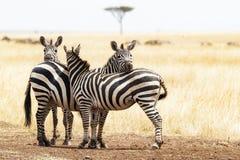 Tre amici della zebra in Africa Immagini Stock Libere da Diritti