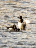 Tre anatre Anellato-con il collo in Verona Lake, NJ immagini stock libere da diritti
