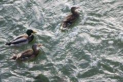 Tre anatre che nuotano in acqua Fotografie Stock