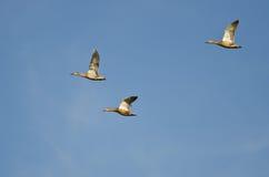 Tre anatre di Mallard che volano in un cielo blu Immagini Stock Libere da Diritti