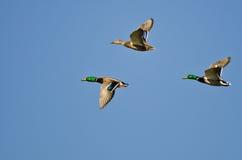 Tre anatre di Mallard che volano in un cielo blu Immagini Stock