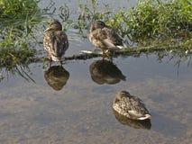 Tre anatre in fiume Fotografia Stock