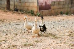 Tre anatre su una riga Tre anatre sull'erba selvatica Fotografia Stock