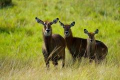 Tre antilop i Afrika royaltyfria bilder