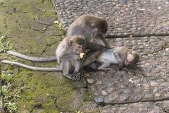 Tre apor på Bali som tillsammans ligger Royaltyfri Bild
