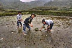 Tre asiatiska flickor är upptagna att plantera ris Arkivbild