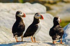 Tre atlantiska lunnefåglar som tillsammans står på en vagga Royaltyfri Fotografi