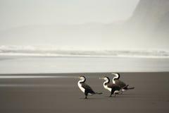 Tre australiska Pied kormoran Royaltyfria Bilder