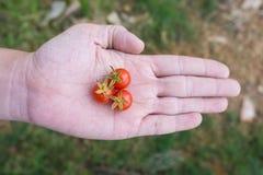 Tre av nya körsbärsröda tomater förestående Arkivfoto