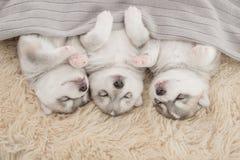 Tre av siberian skrovligt sova för valpar fotografering för bildbyråer