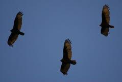 Tre avvoltoi Fotografia Stock Libera da Diritti