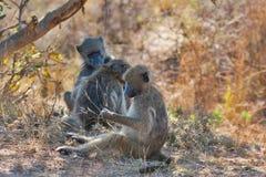 Tre babbuini Fotografie Stock