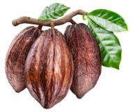 Tre baccelli del cacao sul ramo con le foglie verdi Foto concettuale fotografia stock