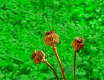 Tre baccelli secchi del papavero Immagine Stock
